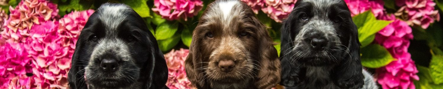Engelse Cocker Spaniel Club Nederland